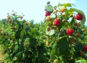 raspberry - farm