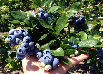 blueberry-farm1