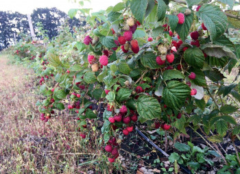 organic-berry1