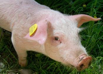Украинский производитель свинины KSG Agro купит акции субхолдинга Parisifia