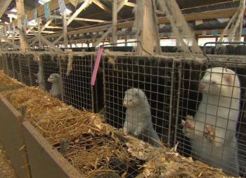 Украинские норковые фермы способны привлечь $500 млн. до 2021 года