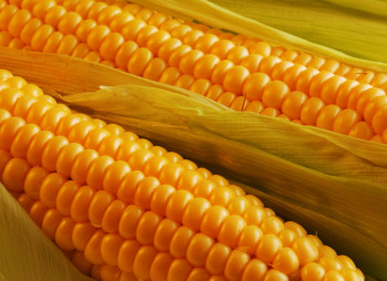 Инвесторы из Китая хотят построить в Украине завод по переработке кукурузы за $200 млн