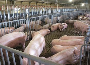 KSG Agro вложит 25 млн. грн. в выращивание свиней