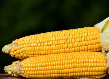 kukuruza-kochanyi