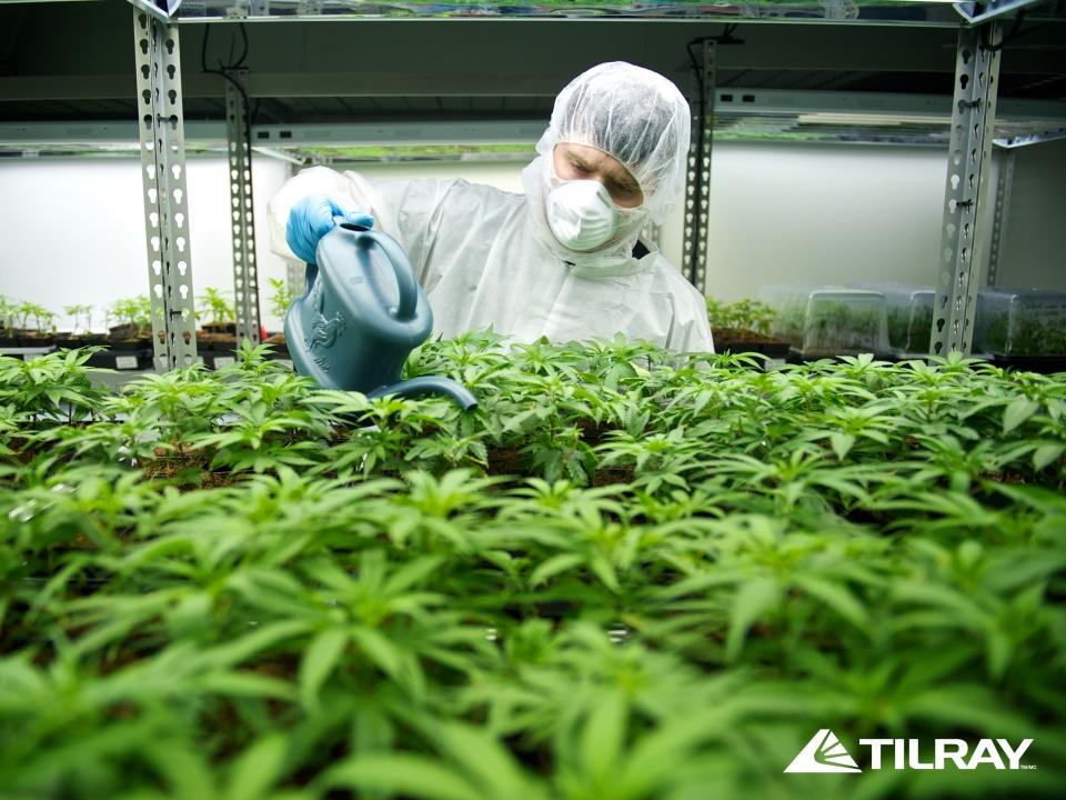 Канада новости поле конопли мишки марихуана
